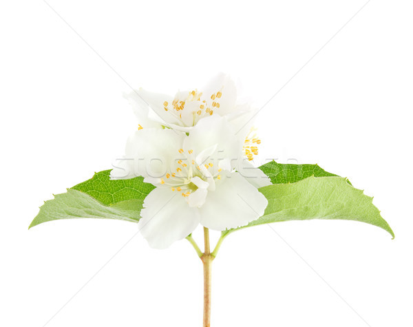 Flower of jasmin with green leaves Stock photo © brulove