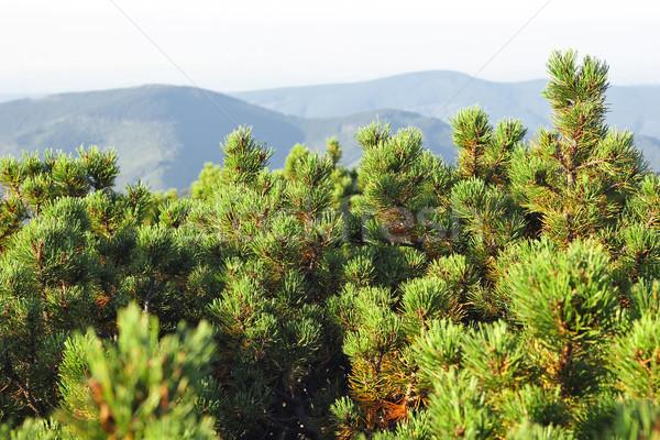Spinney juniper (Juníperus) Stock photo © brulove