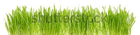 Green sprout of wheat and rye. Stock photo © brulove
