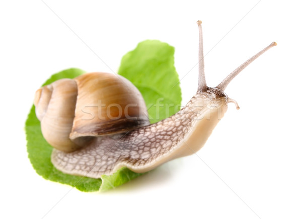 garden snail (Helix aspersa) on green leaf Stock photo © brulove