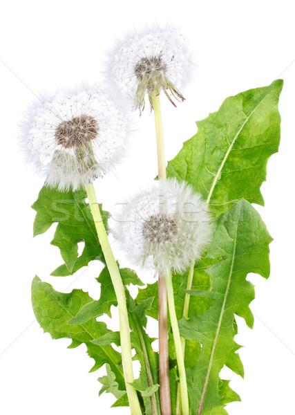 Pissenlit feuilles vertes isolé blanche nature feuille Photo stock © brulove