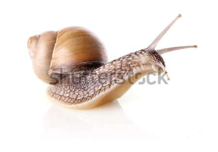 Garden snail on skateboard Stock photo © brulove