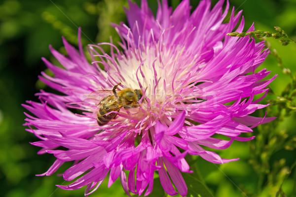 Honingbij nectar violet bloem natuur oranje Stockfoto © brulove