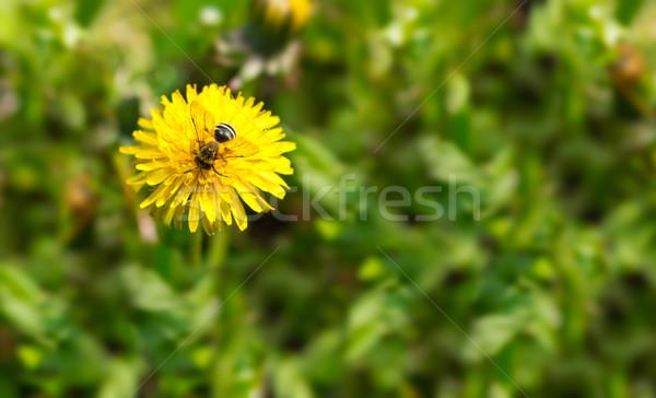 Primavera dandelion abelha floral flor comida Foto stock © brulove
