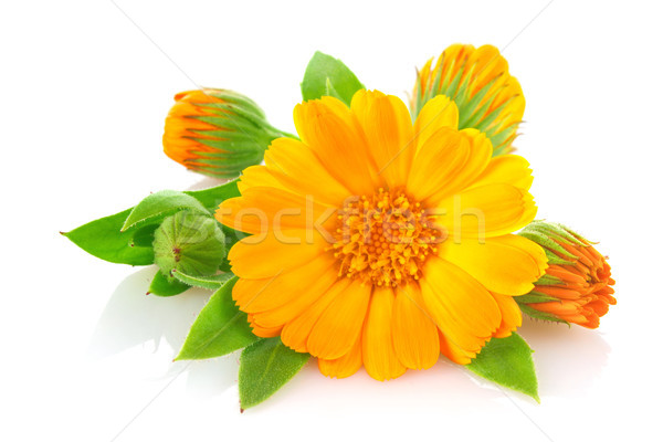 Flowers of calendula with green leaves Stock photo © brulove