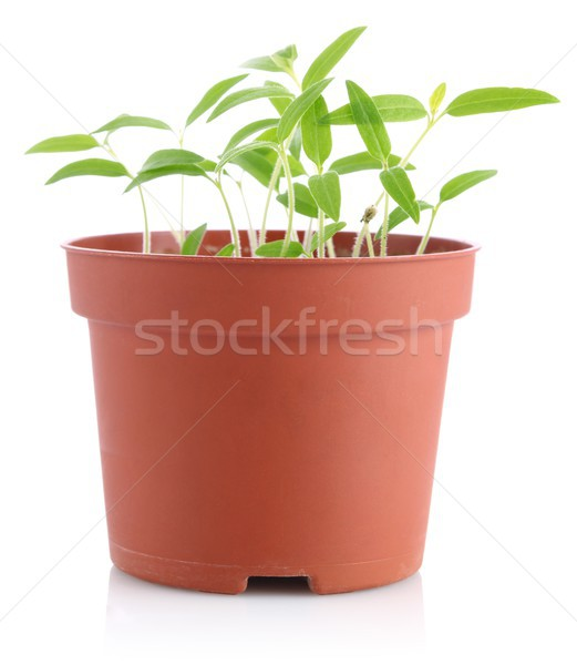 sprouts of tomatoes in pot Stock photo © brulove