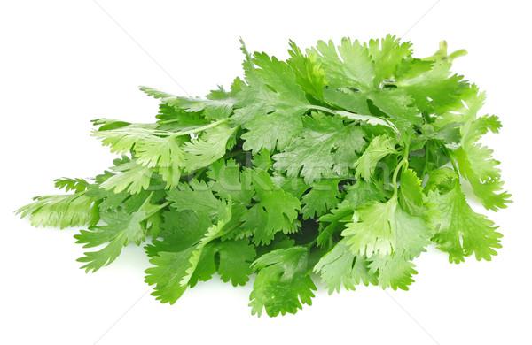 fresh leaves of cilantro Stock photo © brulove