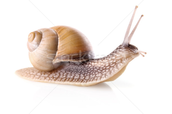 garden snail (Helix aspersa)  Stock photo © brulove