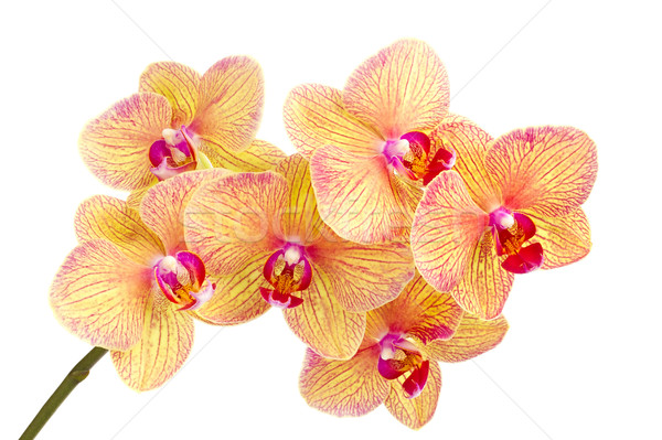 Branch of blossom Phalaenopsis orchid Stock photo © brulove
