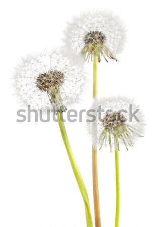 Dandelion isolado branco natureza verde planta Foto stock © brulove