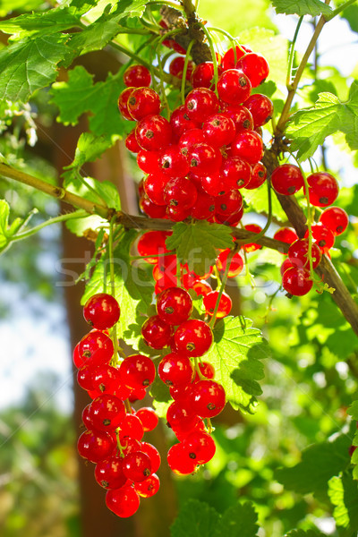 Cluster of red currant in sunbeams morning lights Stock photo © brulove