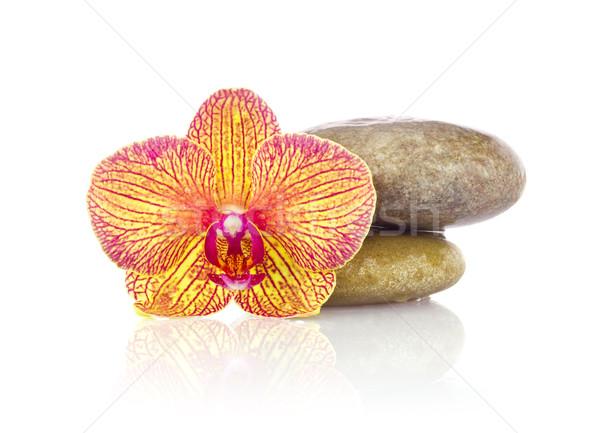 Listrado flor orquídea molhado pedras isolado Foto stock © brulove