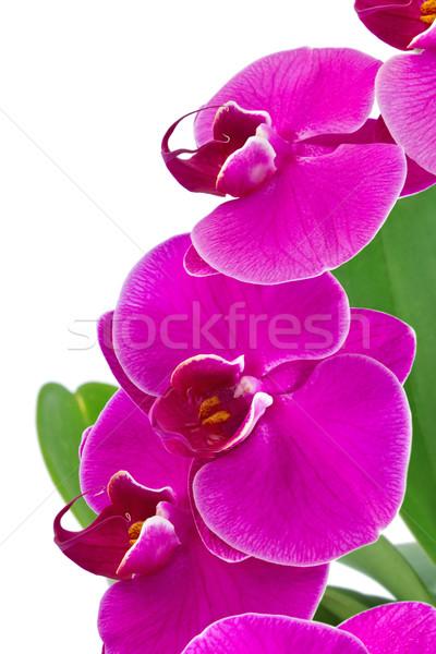 Orchidée feuille verte isolé blanche fleur fond Photo stock © brulove