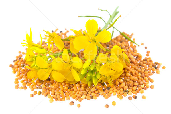 Flowers and seeds of mustard Stock photo © brulove