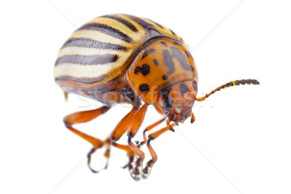 colorado beetle (Leptinotarsa decemlineata) Stock photo © brulove
