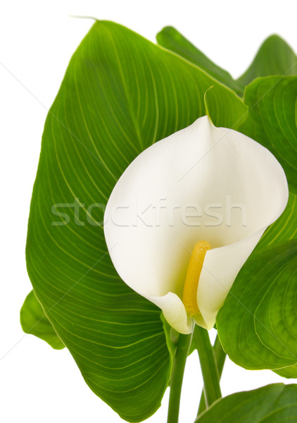 calla lilies with green leaves Stock photo © brulove