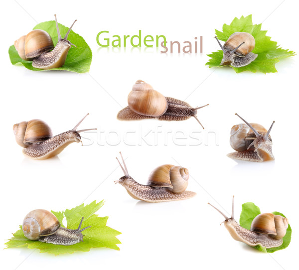 set garden snail (Helix aspersa) Stock photo © brulove