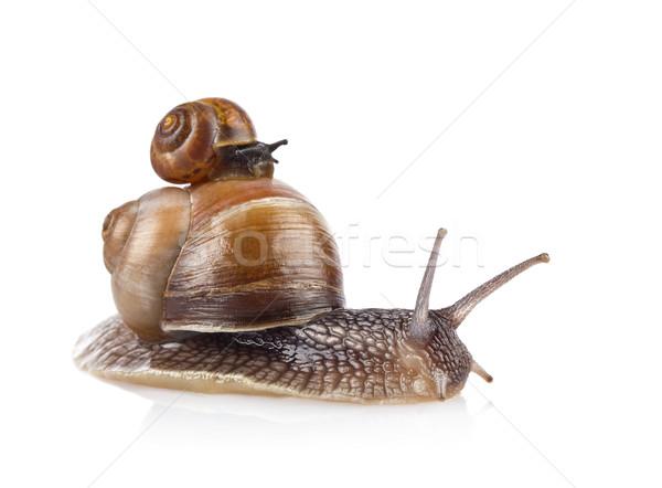 Garden snail (Helix aspersa) taxi Stock photo © brulove