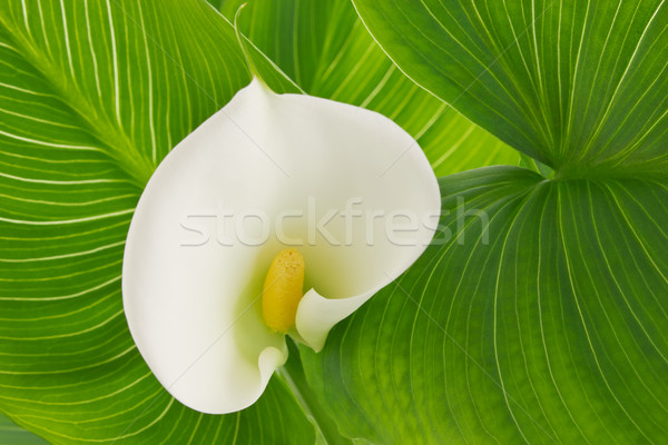 Flower white calla lily (Alepes kalla) Stock photo © brulove