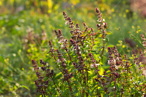 Floraison basilic herbe alimentaire feuille vert Photo stock © brulove