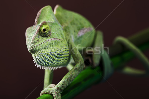Green chameleon Stock photo © BrunoWeltmann