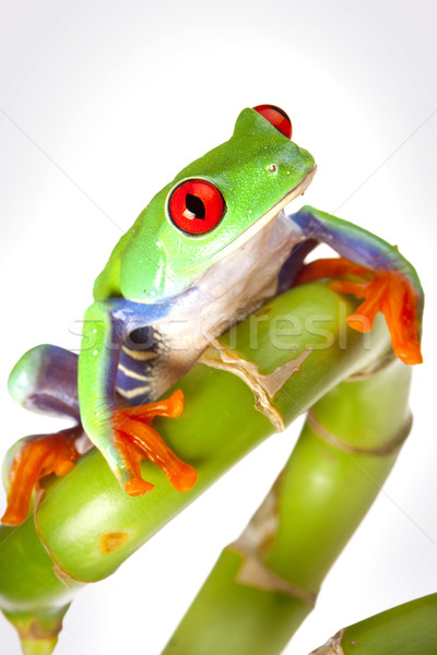 green red-eyed frog Stock photo © BrunoWeltmann