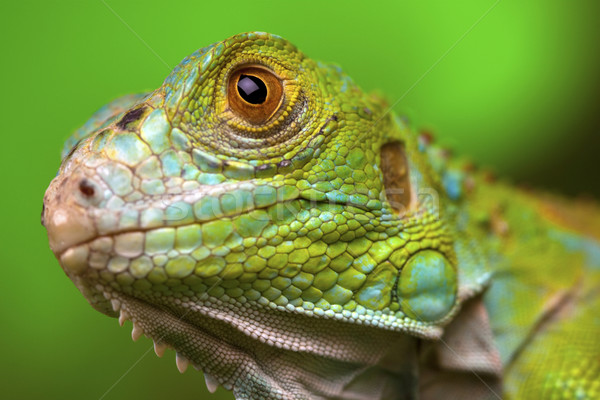 Green Lizard Stock photo © BrunoWeltmann