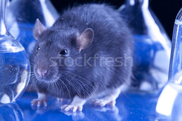 állat fekete labor fehér patkány teszt Stock fotó © BrunoWeltmann