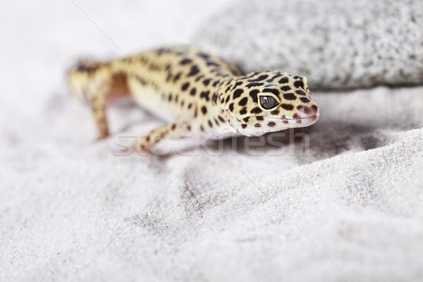 ヤモリ 肖像 ヒョウ 太陽 砂 動物 ストックフォト © BrunoWeltmann