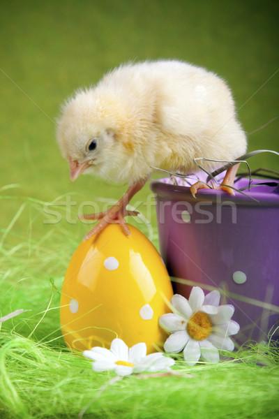 Easter Chicken, holiday concept Stock photo © BrunoWeltmann
