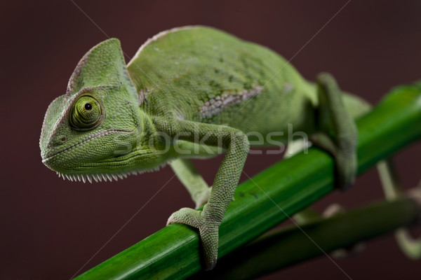 Green chameleon. Colorful photo Stock photo © BrunoWeltmann