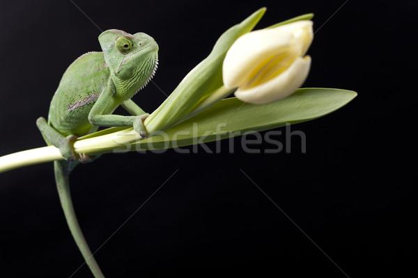Foto stock: Verde · camaleão · natureza · beleza · vida · jovem