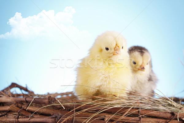 Birds in nest Stock photo © BrunoWeltmann