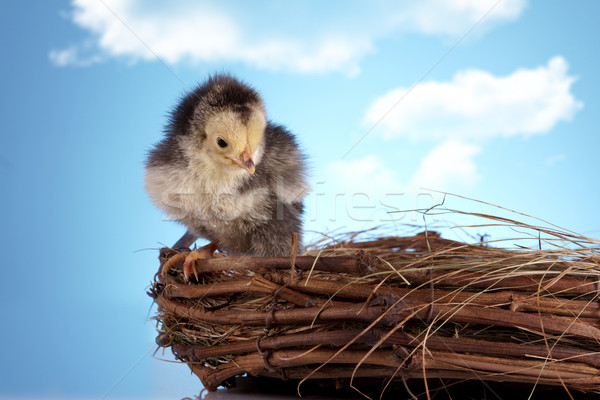 Birds in nest Stock photo © BrunoWeltmann