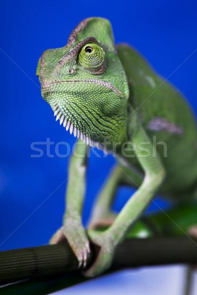 Zielone Chameleon kolorowy Fotografia drzewo Zdjęcia stock © BrunoWeltmann