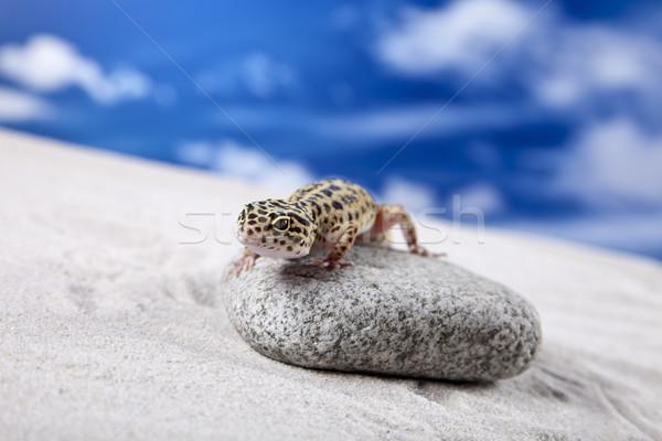 Leopard geco sole rock pietra lucertola Foto d'archivio © BrunoWeltmann