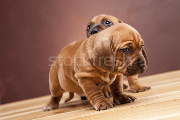 Stockfoto: Jonge · cute · honden · gelukkig · groep · grappig