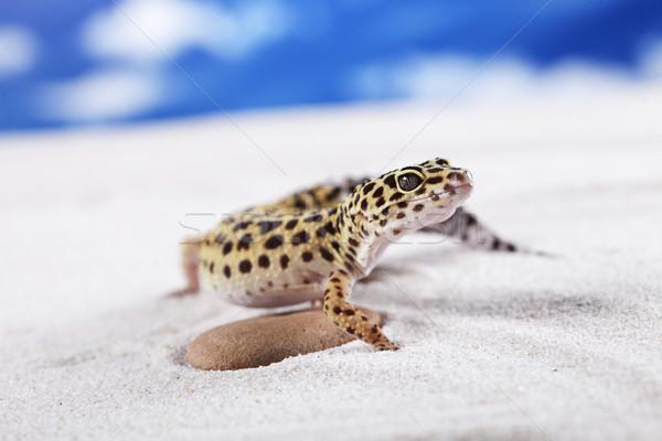 Gekko portret luipaard zon zand dier Stockfoto © BrunoWeltmann