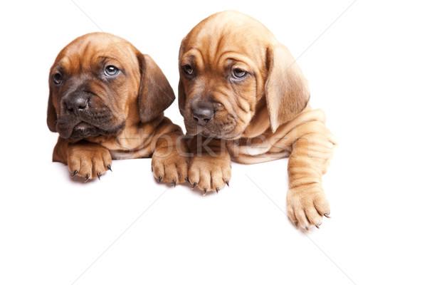 Stock fotó: Fiatal · aranyos · kutyák · csoport · vicces · kártya