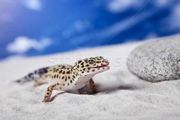 ヒョウ ヤモリ 太陽 岩 石 トカゲ ストックフォト © BrunoWeltmann