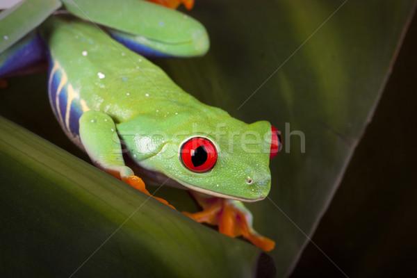 Stock fotó: Zöld · béka · szem · természet · narancs · piros