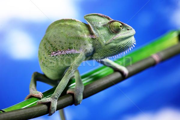 Verde camaleón colorido foto árbol Foto stock © BrunoWeltmann