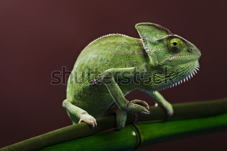 Green chameleon Stock photo © BrunoWeltmann