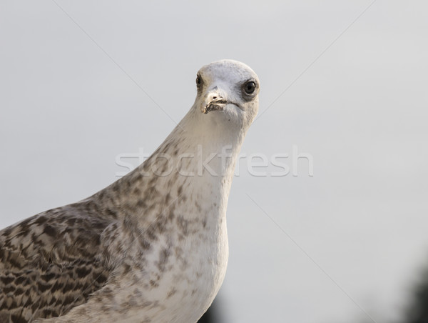 seagull Stock photo © brux