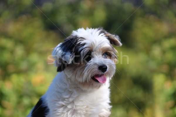 Portrait of a small dog Stock photo © brux