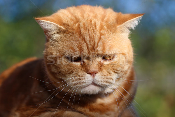 Redheaded cat sitting on a tree stump Stock photo © brux