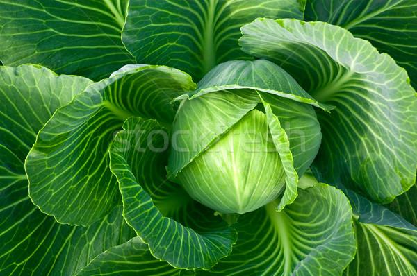 キャベツ 頭 新鮮な 葉 ボール 料理 ストックフォト © bryndin