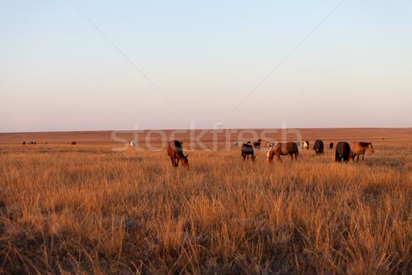 Herd of horses grazing in pasture Stock photo © BSANI