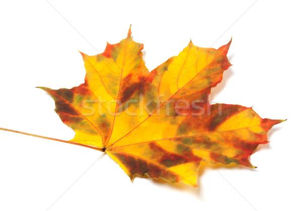 Automne feuille d'érable blanche isolé vue Photo stock © BSANI