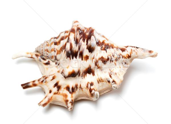 Stock photo: Lambis tiger shell